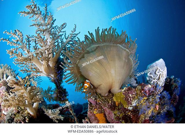 Clown Anemonefish in Coral Reef, Amphiprion ocellaris, Cabilao Island, Visayas Islands, Philippines
