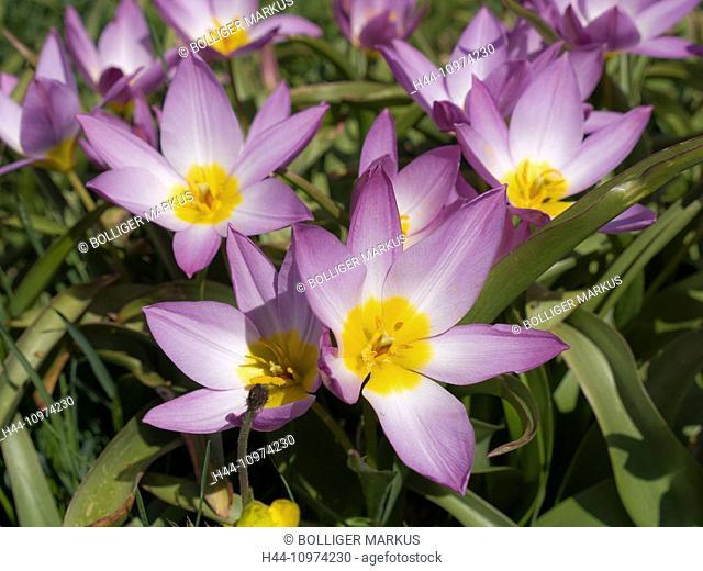 Baker's tulip, flower, blossom, flourish, petal, petals, flora, spring flora, Yellow, petals, Liliaceae, lilies, Perigon, Rose, stamen, Tulipa bakeri, tulip
