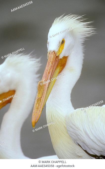 Am. White Pelican entering breeding Coloration, TX (Pelecanus erythrorhynchos)