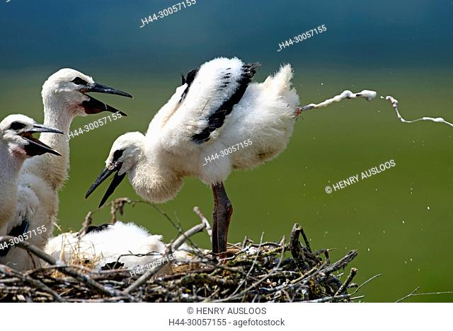 White stork, young, Excretion of excrements (Ciconia ciconia), France