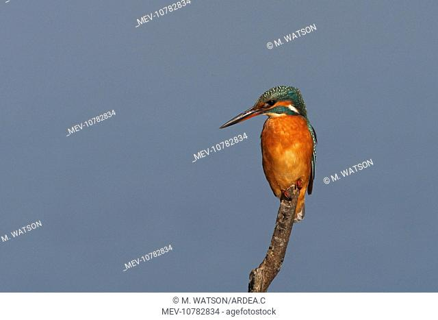 Common Kingfisher - female on perch (Alcedo atthis)