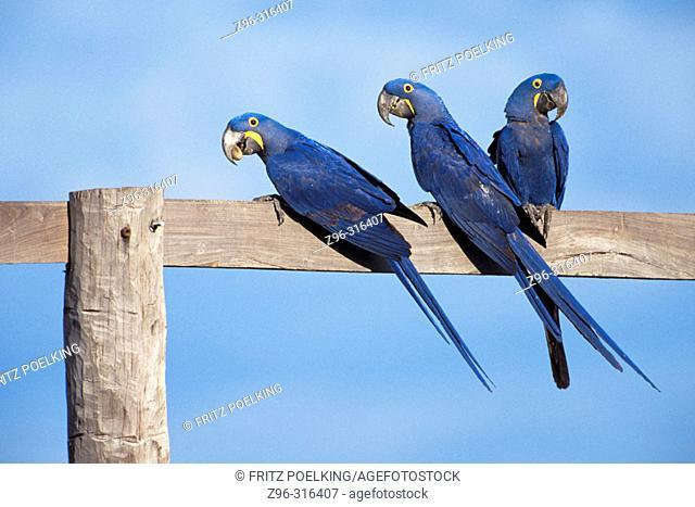 Hyacinthine Macaws (Anodorhynchus hyacinthus). Pantanal, Brazil
