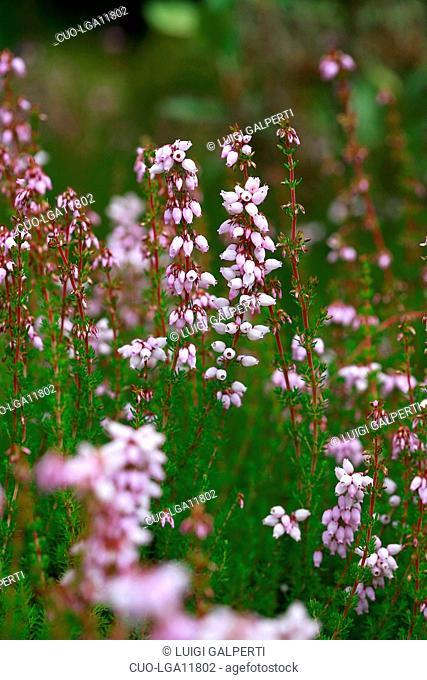 Erica cinerea Hookstone Lavender, heather