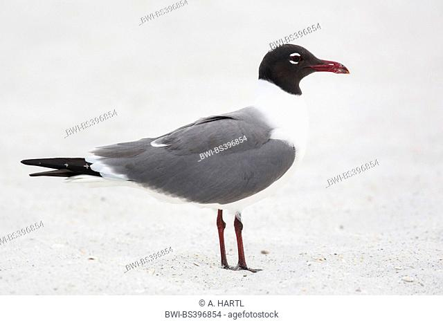 laughing gull (Larus atricilla), standing in the sand, USA, Florida, Westkueste, Kissimmee