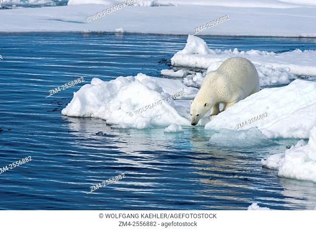 A polar bear (Ursus maritimus) is looking for food at the edge of the pack ice north of Svalbard, Norway