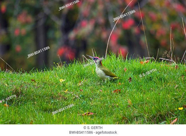 green woodpecker (Picus viridis), on the feed on the ground in autumn, Switzerland, Sankt Gallen, Rheineck