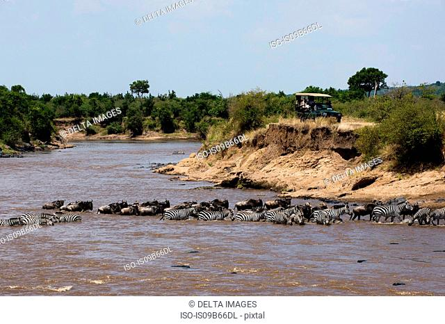 Grant's zebras (Equus burchellii boehmi), and Eastern white-bearded wildebeest (Connochaetes taurinus albojubatus) crossing the Mara river