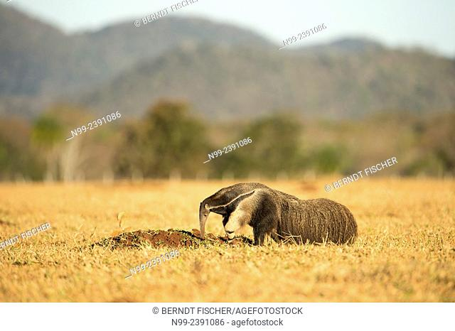 Giant anteater (Myrmecophaga tridactyla), looking for ants in dry farmland, Mato Grosso do Sul, Brazil