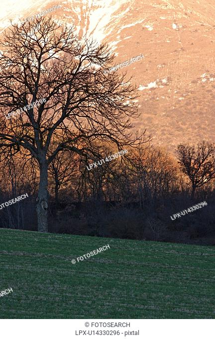 Single tree in field, silhouetted in late afternoon winter sun, Italy, with snow on mountain slope behind