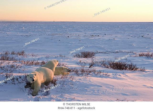 Polar bears Ursus maritimus, Churchill, Hudson Bay, Manitoba, Canada, North America