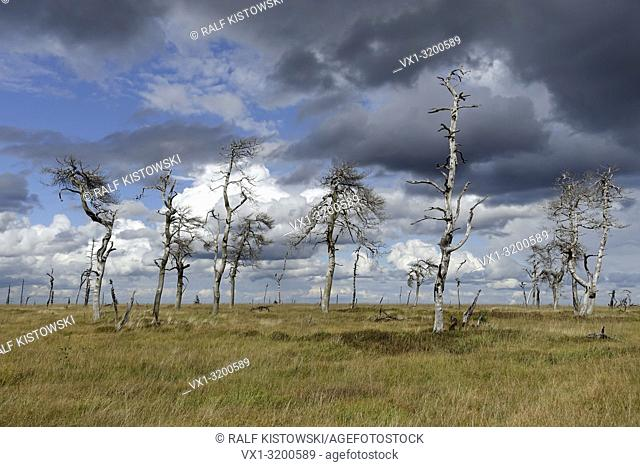 Noir Flohay in the High Fens, a raised bog in the Eifel with picturesque old dead trees years after a fire, a famous nature reserve in Belgium
