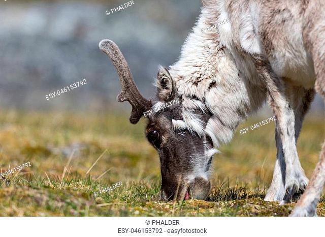 reindeer (rangifer tarandus platyrhynchus) browsing, tundra