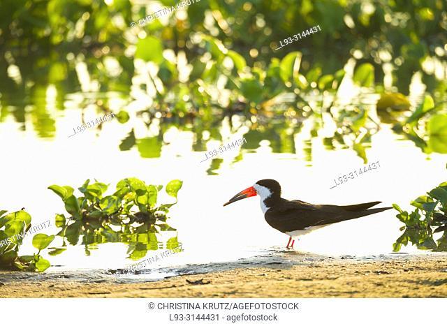 Black Skimmer (Rynchops niger), Brazil, Mato Grosso, Pantanal