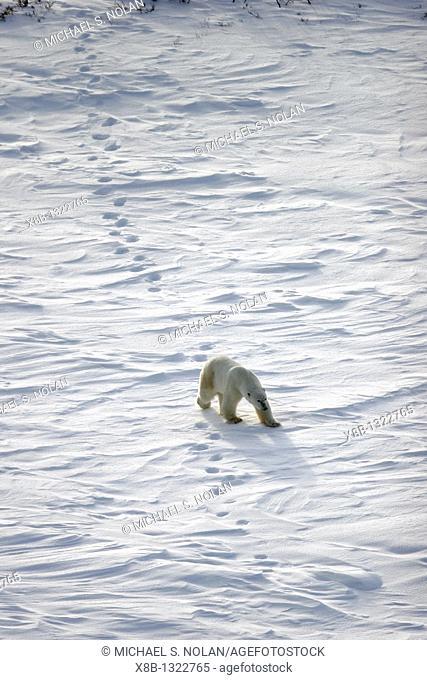 Adult Polar Bear Ursus maritimus following in tracks on open tundra outside Churchill, Manitoba, Canada