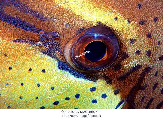 Eye of a Rabbitfish (Siganidae), Sabang Beach, Mindoro, Philippines