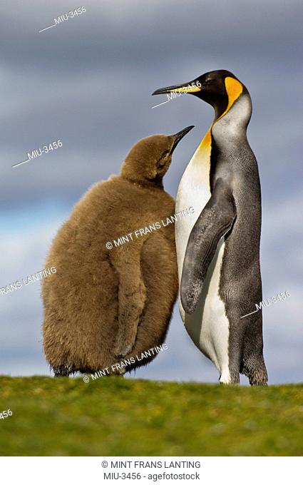 King penguin chick begging for food from parent, Aptenodytes patagonicus, Falkland Islands