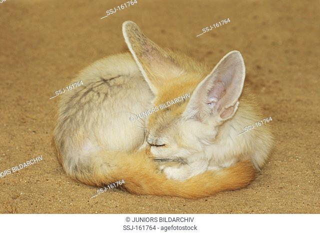 Fennec Fox - sleeping / Vulpes zerda