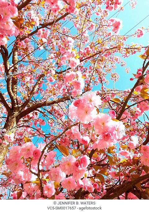 Kwanzan Cherry flowering tree with pink blossoms. Prunus serrulata 'Kwanzan'