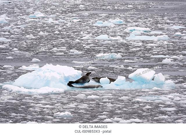 Crabeater seals (Lobodon carcinophaga) in Lemaire channel, Antarctica