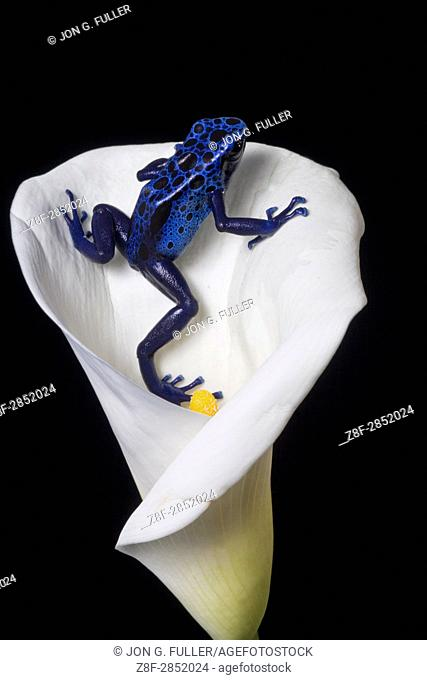 The Blue Poison Frog, Dendrobates tinctorius azureus, is found in the Sipilawini region of Suriname and Brazil