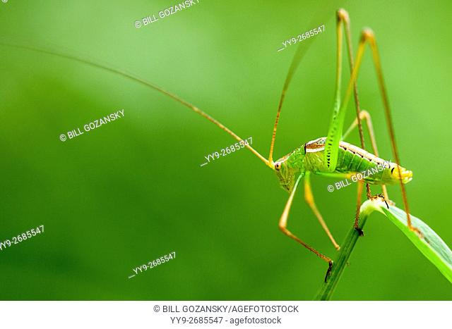 Green Bush Katydid Species - Camp Lula Sams - Brownsville, Texas USA
