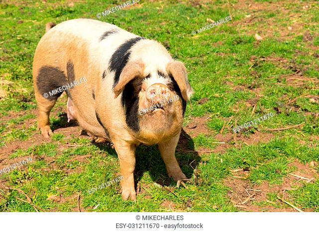 White pig with black spots in a farm field