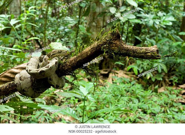 Amazon Tree Boa (Corallus hortulanus) waiting on a branch, Ecuador, Napo, San Jose de Payamino