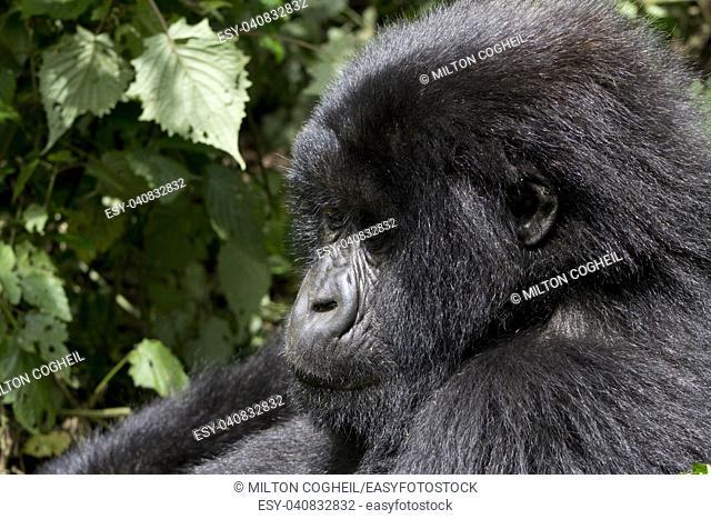 Young Gorilla in the wild, Virunga National Park, Rwanda