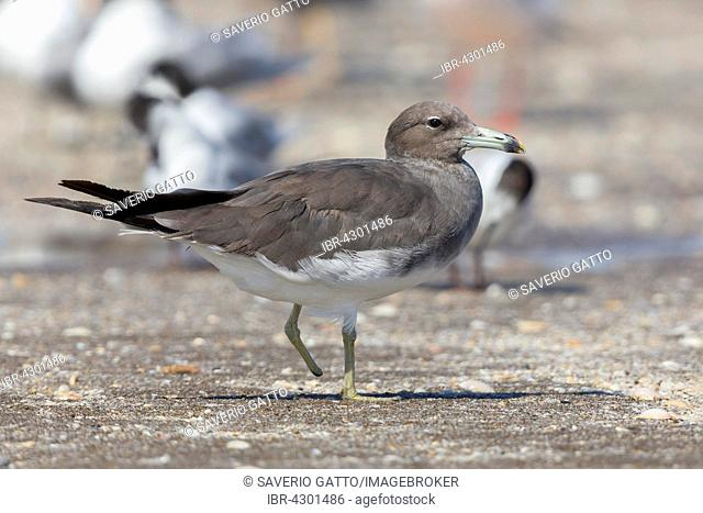 Sooty Gull (Ichthyaetus hemprichii), standing on one leg on the beach, missing foot, Liwa, Al Batinah, Oman