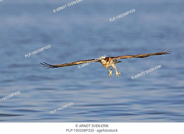Western osprey (Pandion haliaetus) in flight preparing to catch fish from lake with spread talons (sequence 1 of 2)