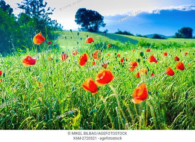 Poppies on a cereal field. Ayegui, Navarre, Spain