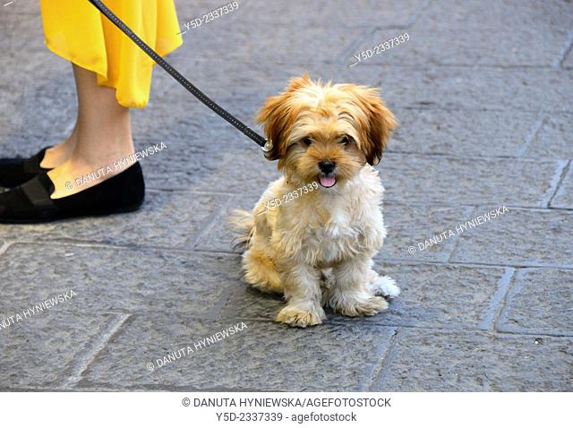 little funny dog on a leash sitting on pavement, on left legs of female owner, old town of Catania, Sicily, Italy