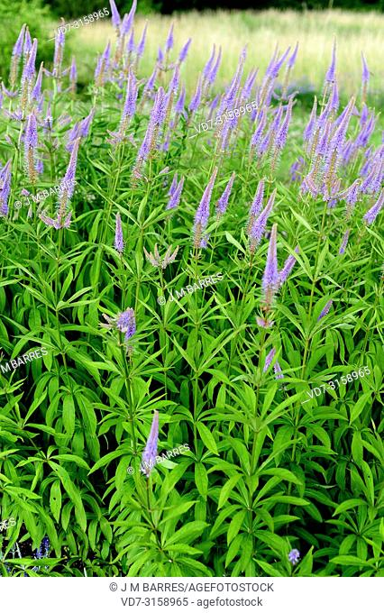 Culver root (Veronicastrum virginicum or Leptandra virginica) is a perennial herb native to North America