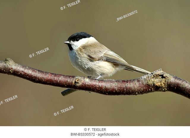 willow tit (Parus montanus), sitting on a twig, Germany