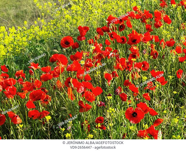 Field of poppy flowers. Antequera, Malaga province, Andalusia Spain, Europe