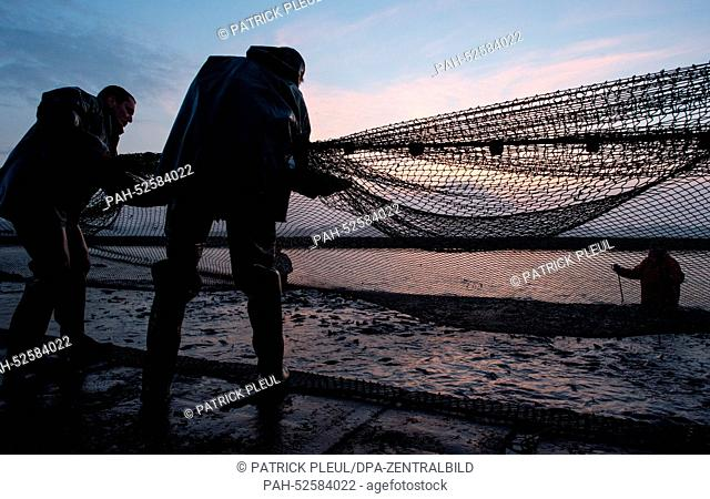 Fishermen of the Teichgut Peitz GmbH pull nets through the shallow waters of the drained Teufelsteich (devil pond), a carp fishing pond, before sunset in Peitz