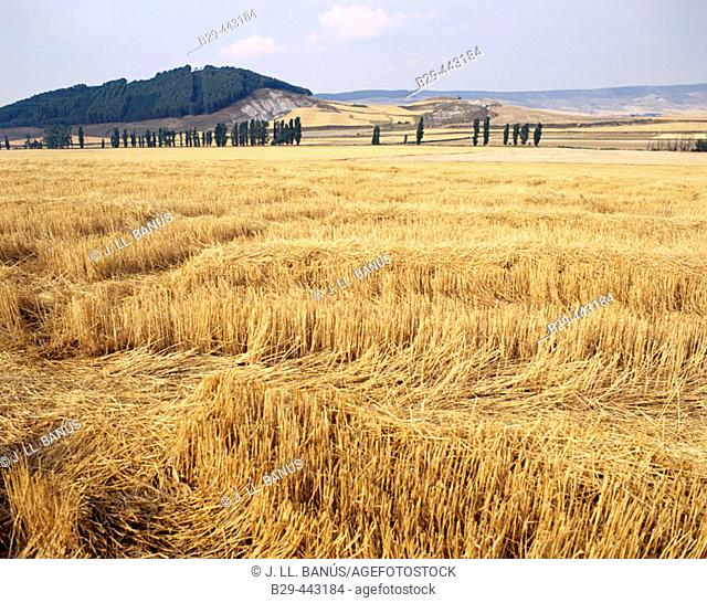 Field of wheat. Cereals. Navarre, Spain