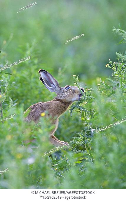 European brown hare (Lepus europaeus) in summer, Hesse, Germany, Europe