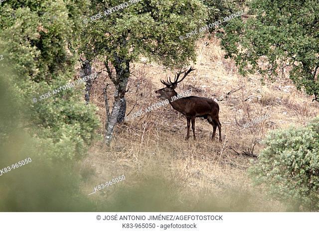 Red Deer (Cervus elaphus), Sierra de Andújar, Andalusia, Spain