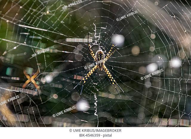 Wasp spider, Wasp spider (Argiope bruennichi) on the net, south west coast, Madeira, Portugal