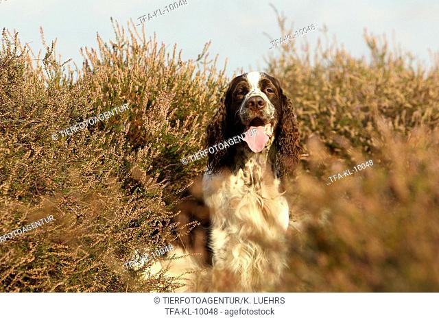 sitting English Springer Spaniel