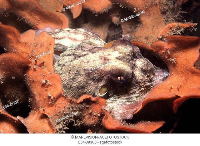 Octopus (Octopus vulgaris). Ria of Vigo, Pontevedra province, Galicia, Spain