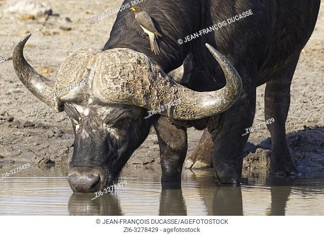 African buffalo (Syncerus caffer), adult male drinking at a waterhole with a yellow-billed oxpecker (Buphagus africanus) sitting on the neck