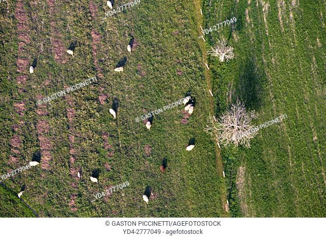 Aerial view of a flock of sheep grazing in the field, Mallorca lands, Balearic Island, Spain