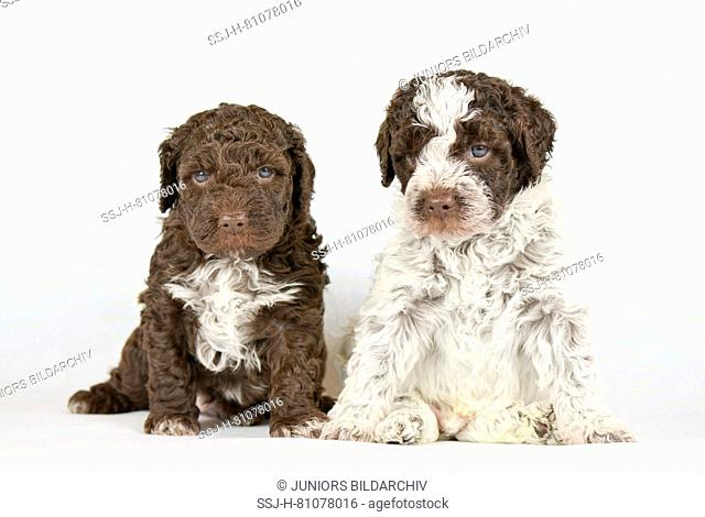 Lagotto Romagnolo. Two puppies (5 weeks old) sitting, seen head-on. Studio picture against a white background. Germanyy
