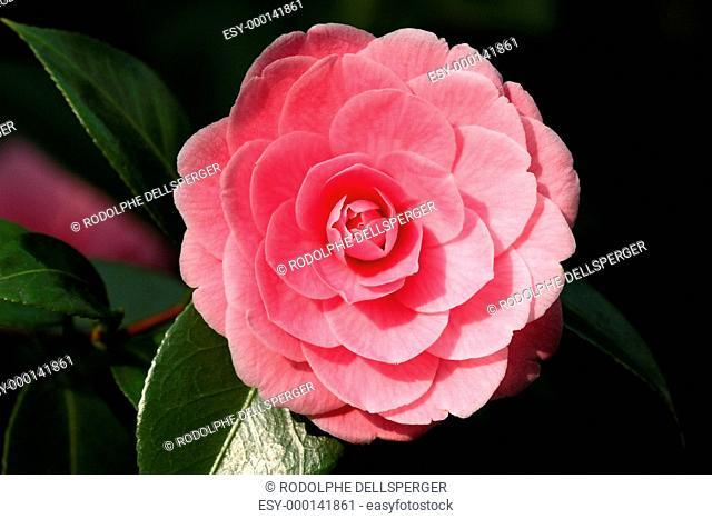 Camellia japonica I