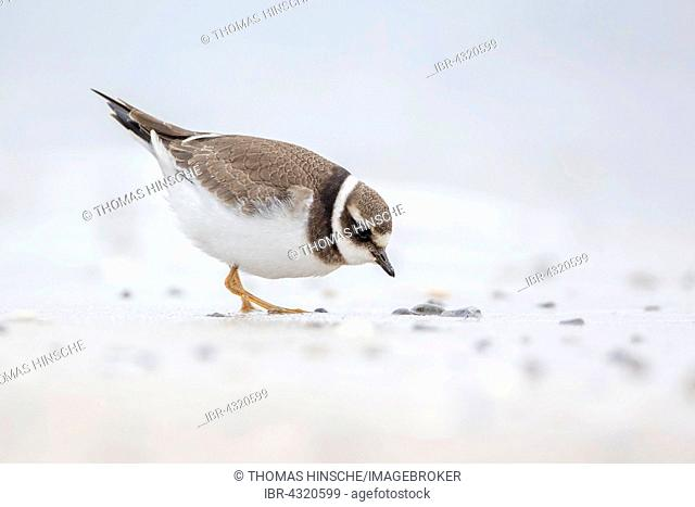 Ringed Plover (Charadrius hiaticula) foraging, Heligoland, Schleswig-Holstein, Germany