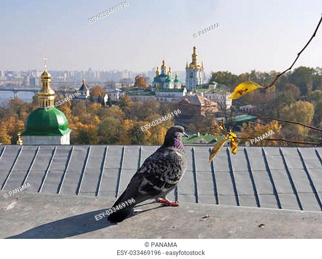 Pigeon against Kiev landscape with Vydubichi monastery and Pechersk Lavra