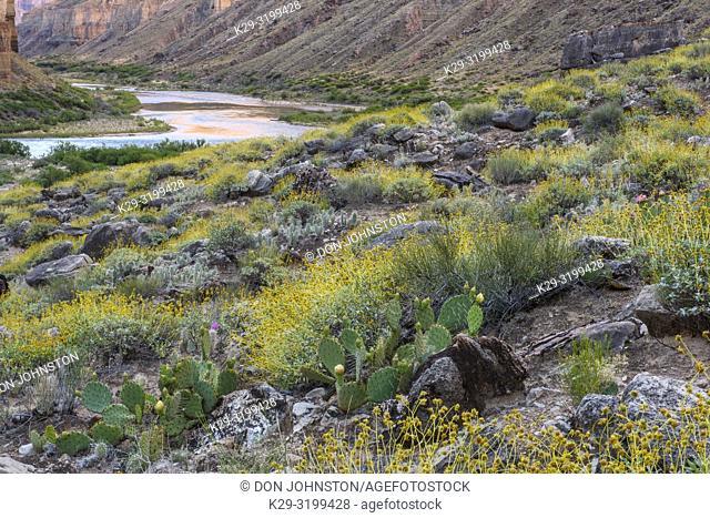 Plant community on the arid delta at Nankoweep, Grand Canyon National Park, Arizona, USA