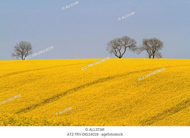 YELLOW RAPESEED FIELD; EAST AYTON, SCARBOROUGH, NORTH YORKSHIRE; 19/05/2014